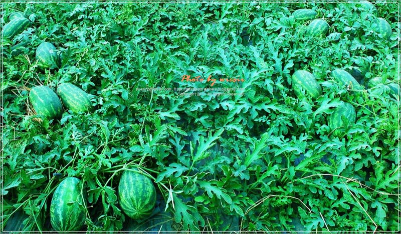Melon tree