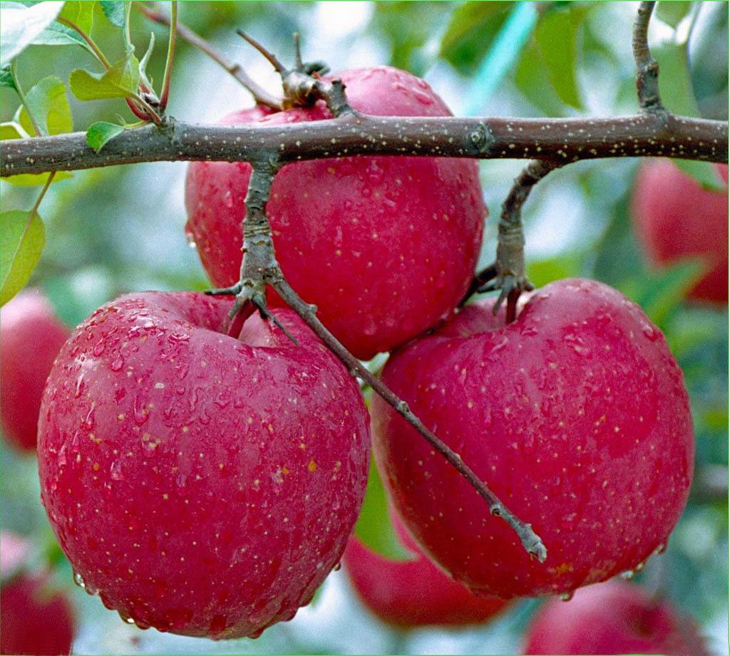 apple color red